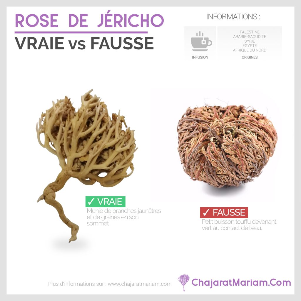 Rose-Jericho-Vraie-vs-Fausse